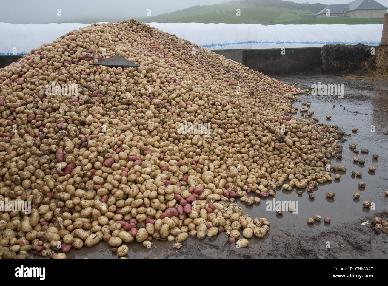 Potato (Solanum tuberosum) tubers in farmyard, for feeding to beef cattle, Perth, Perthshire, Scotland, november Stock Photo