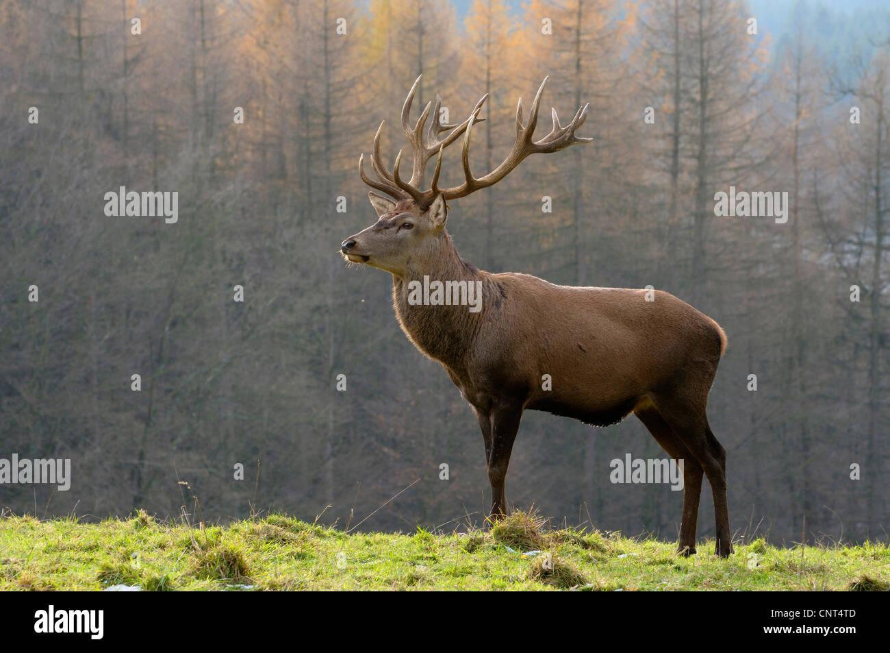 red deer (Cervus elaphus), stag standing in a meadow, Germany, North Rhine-Westphalia - Stock Image
