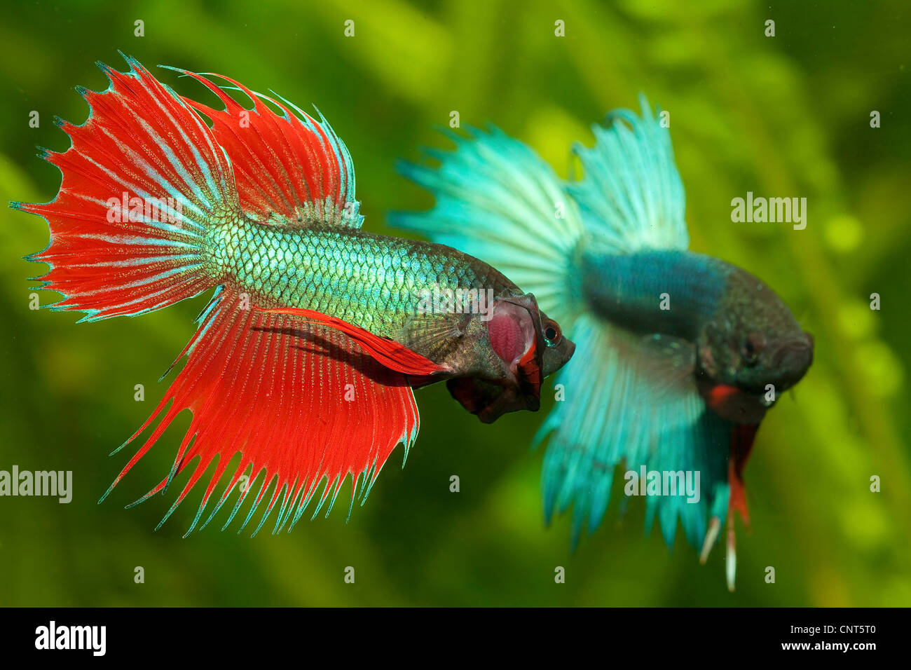Betta Siamese Fighting Fish | Siamese Fighting Fish Betta Splendens Fighting Males Stock Photo
