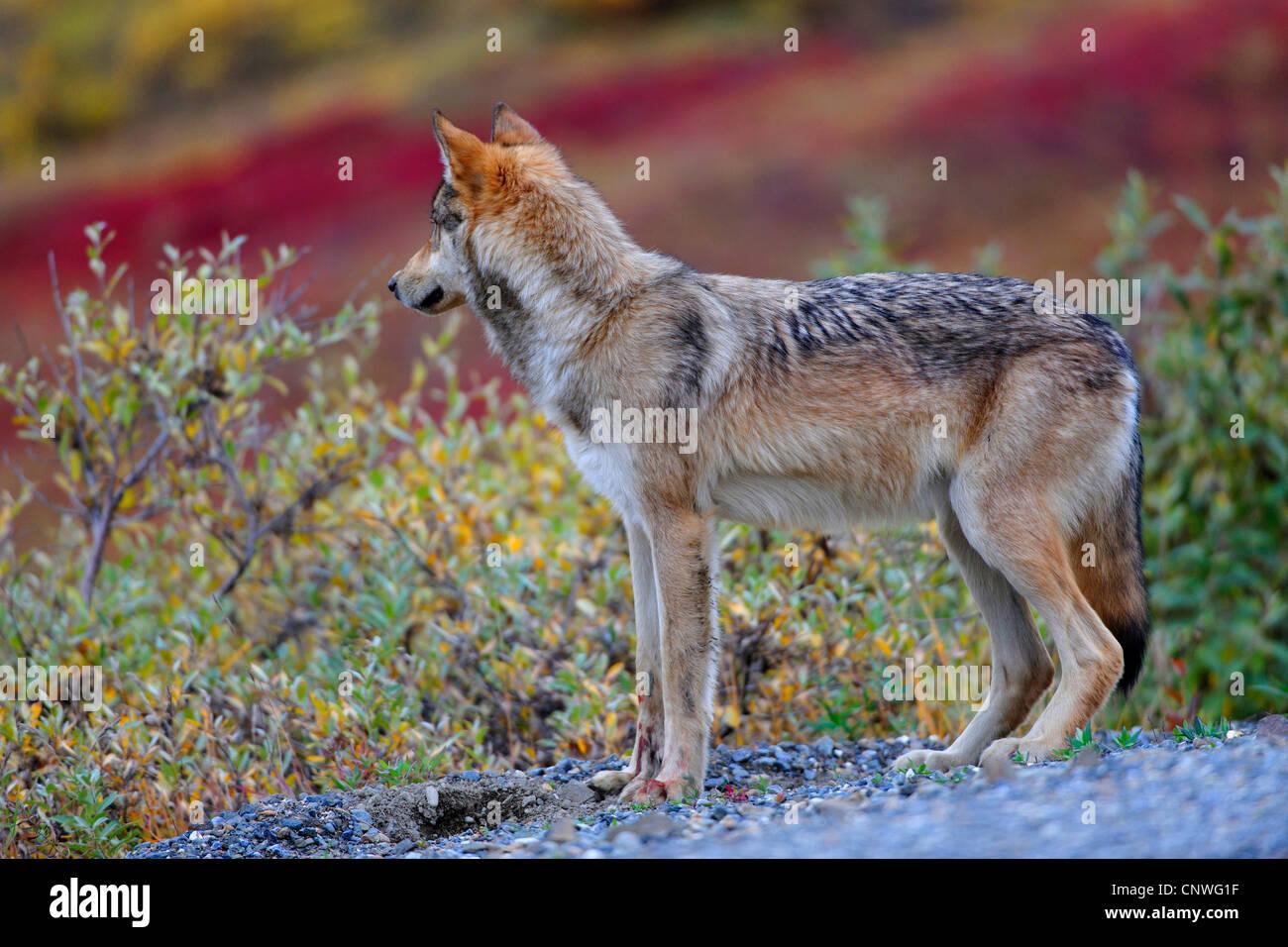 Mackenzie valley wolf - photo#41