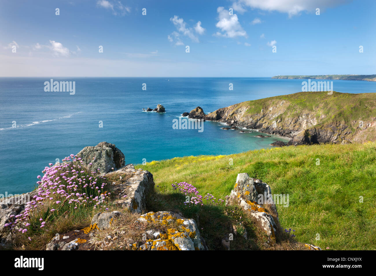 Sea thrift flowering on the clifftops above Carrick Luz, with views to the Lizard, Cornwall, England. Spring (May) - Stock Image