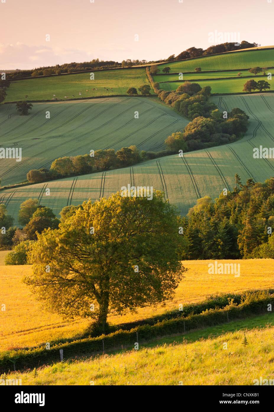 Rolling farmland in summertime, Devon, England. Summer (June) 2011. - Stock Image