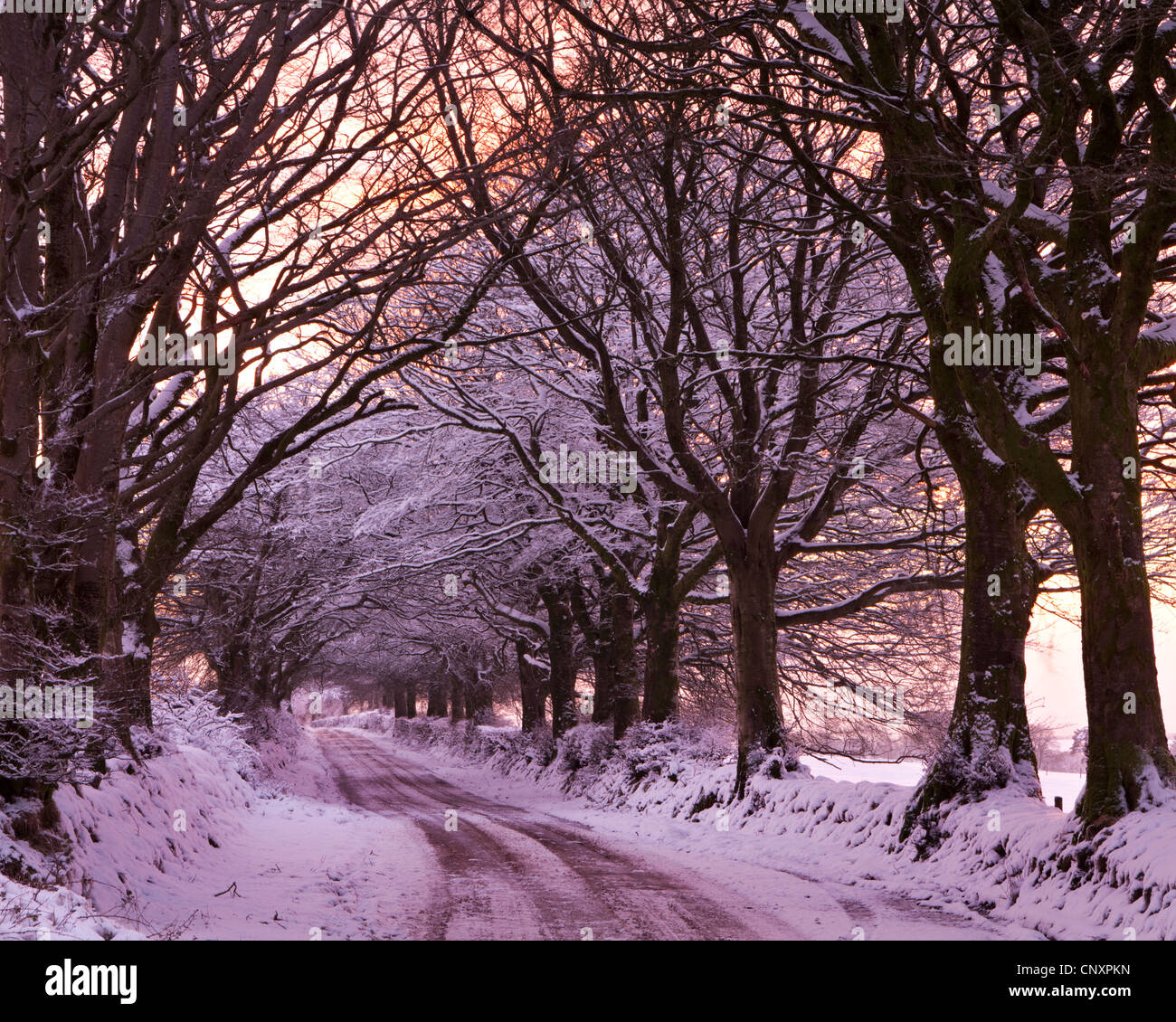 Tree lined lane in snow, Exmoor, Somerset, England. Winter (January) 2012. - Stock Image
