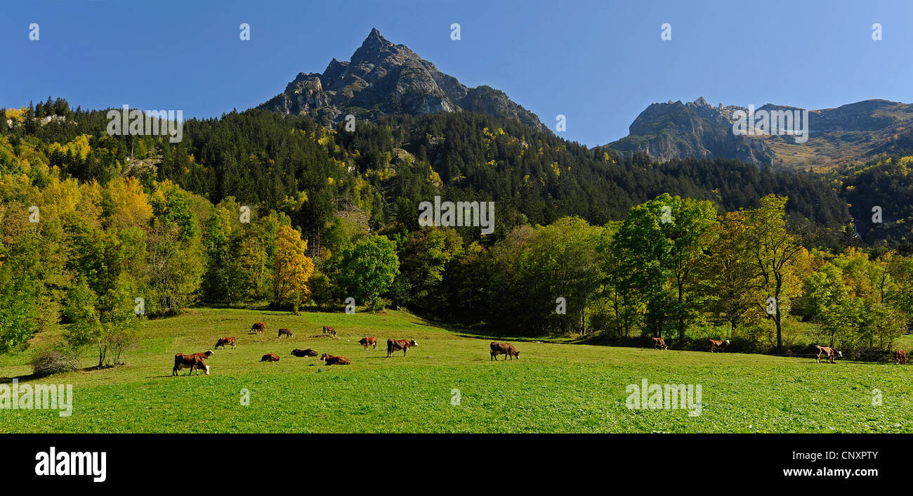 view from a mountain meadow with cattle at the Pointe de la Vuzelle (2553 m), France, Savoie, Nationalpark Vanoise - Stock Image