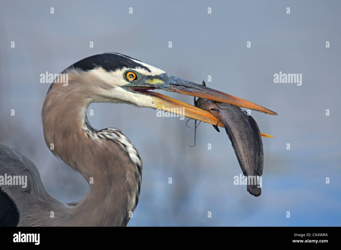 great blue heron (Ardea herodias), with fish in its beak, USA, Florida, Everglades National Park - Stock Image