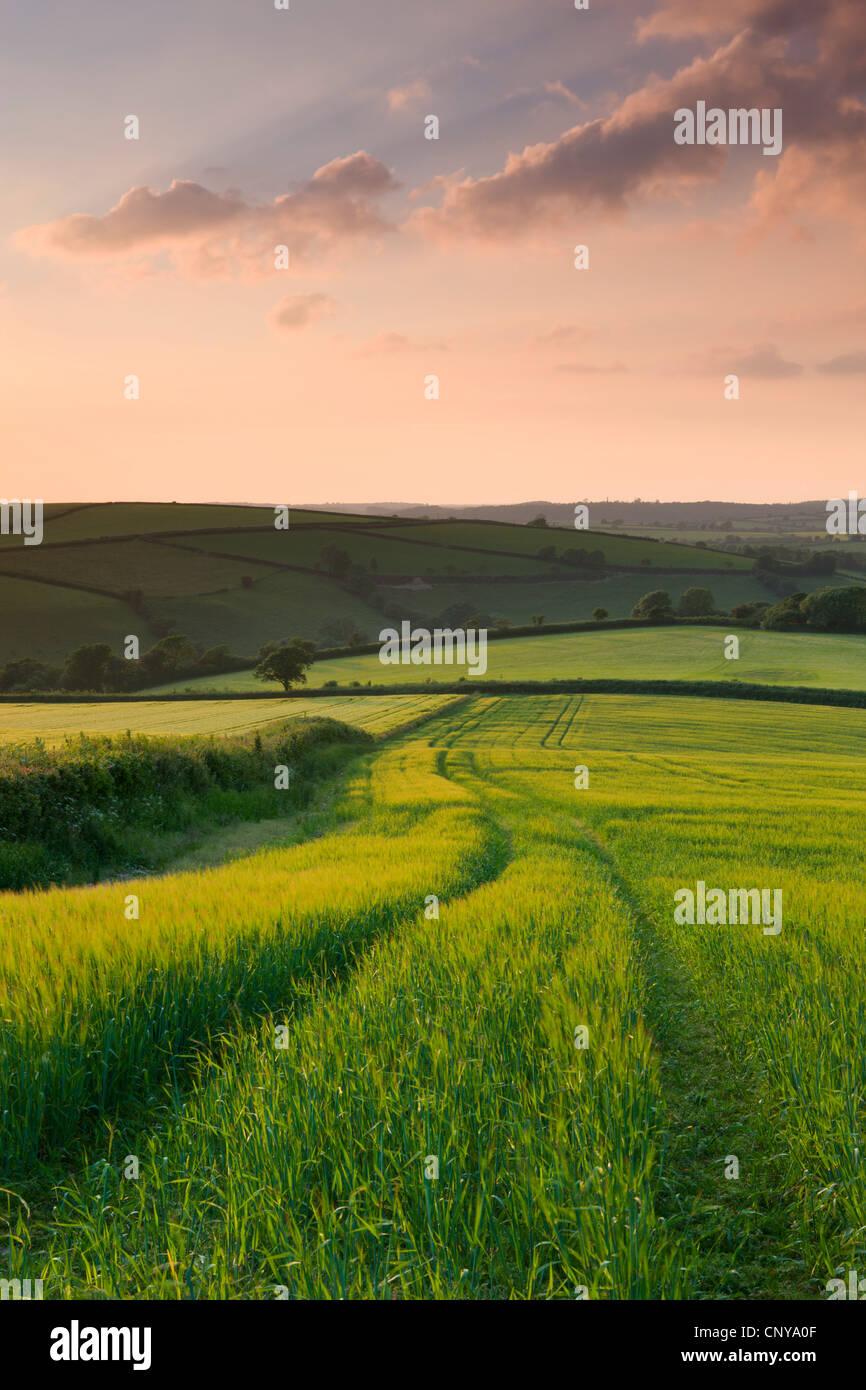 Summer crops growing in a field near Lanreath, Cornwall, England. Summer (June) 2010. - Stock Image