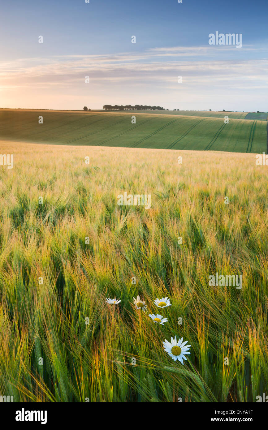 Daisies and barley field in summer, Cheesefoot Head, South Downs National Park, Hampshire, England. Summer (July) - Stock Image