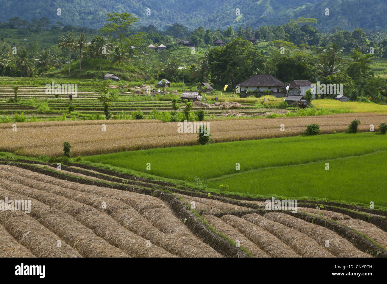 rice terraces in fertile valleys, Indonesia, Bali - Stock Image