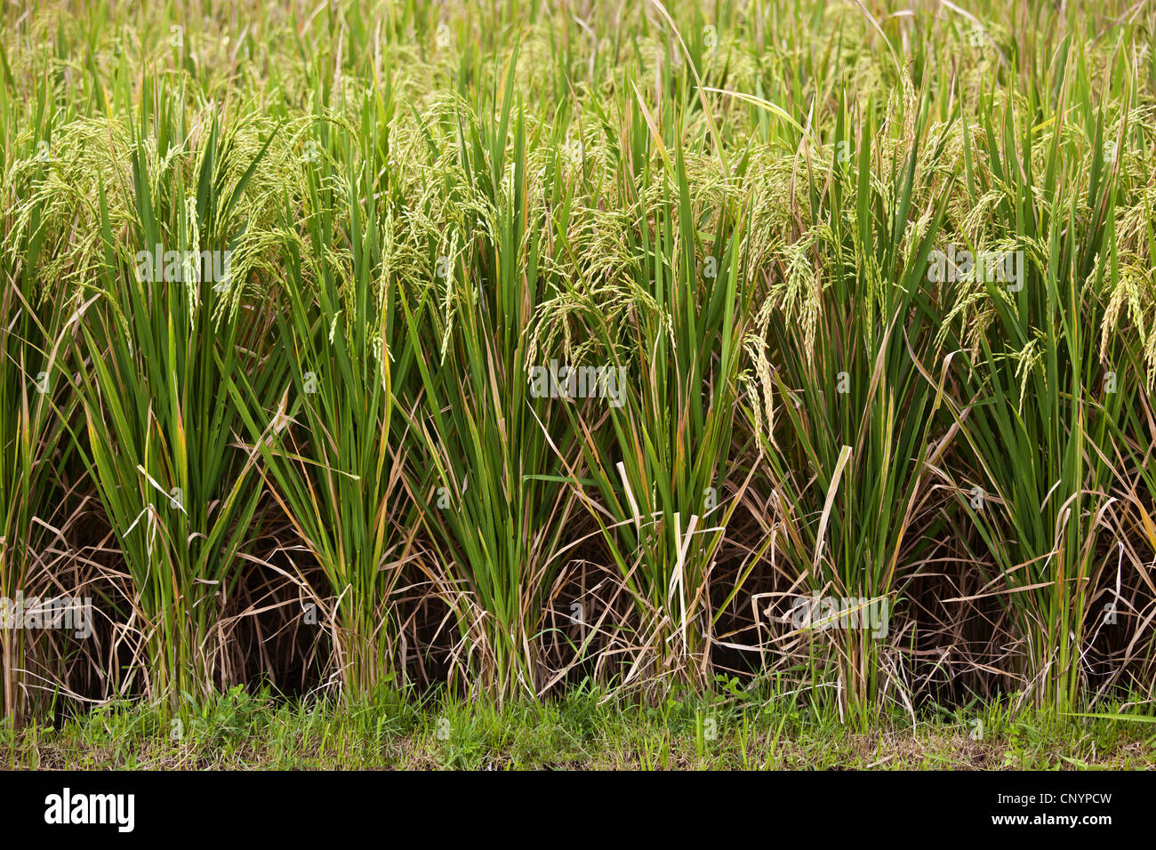 common rice (Oryza sativa), rice field, Indonesia, Bali Stock Photo