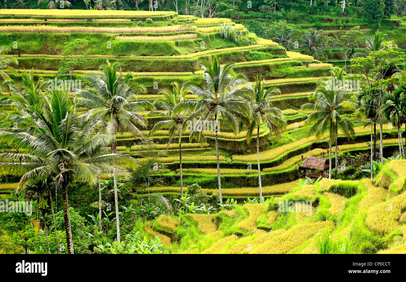 rice-terraces-at-tegallalang-near-ubud-bali-indonesia-the-rice-is-CP0CCT.jpg