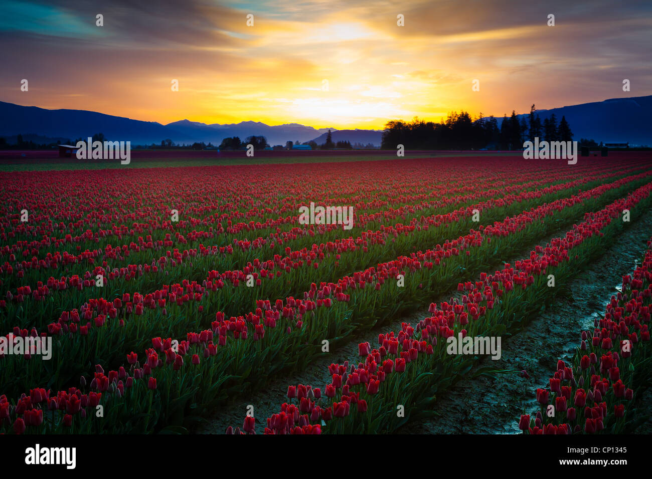 Tulip fields at sunrise in Skagit Valley in Mount Vernon, Washington, during the annual tulip festival - Stock Image