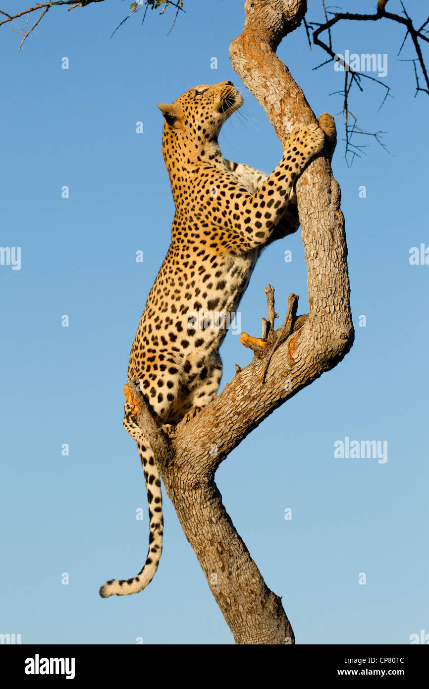 Male Leopard (Panthera pardus) climbing a tree in South Africa - Stock Image