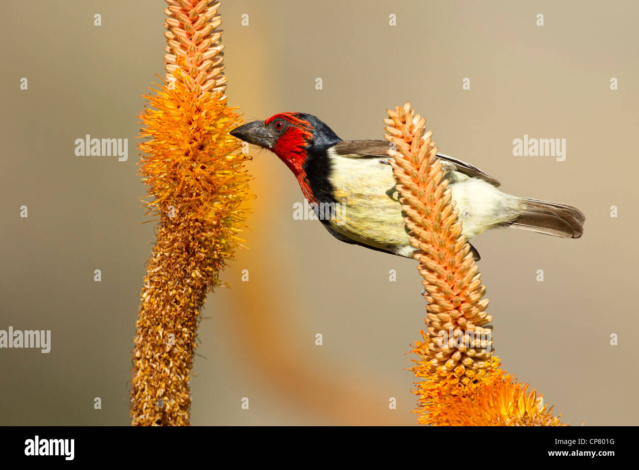 Black Collared Barbet (Lybius torquatus) feeding on the nectar of the Aloe Flowers, Kruger Park, South Africa - Stock Image