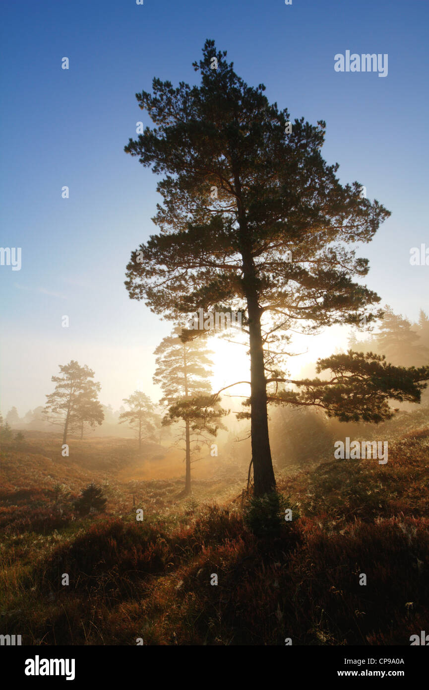 scots-pines-backlit-by-the-rising-sun-hd