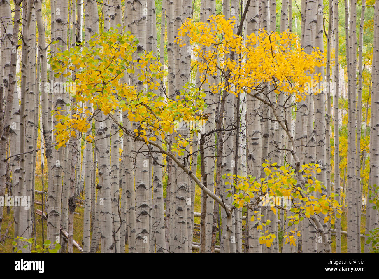 USA, Colorado, White River National Forest. A stand of aspen trees in autumn color - Stock Image