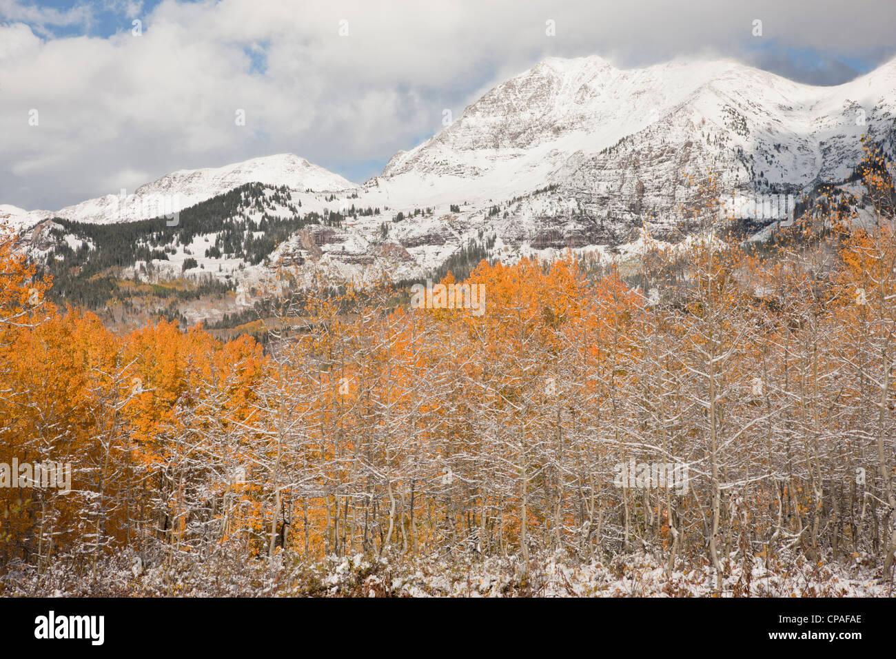 USA, Colorado, Gunnison National Forest, Mt. Owen. Aspen trees after an autumn snowstorm - Stock Image