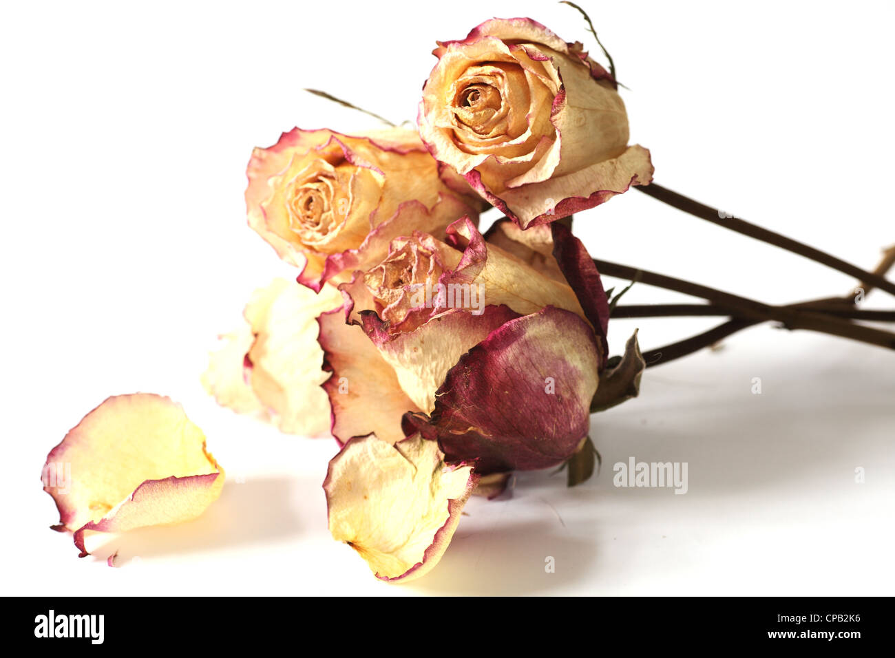 bunch of dry roses against a white background - Stock Image