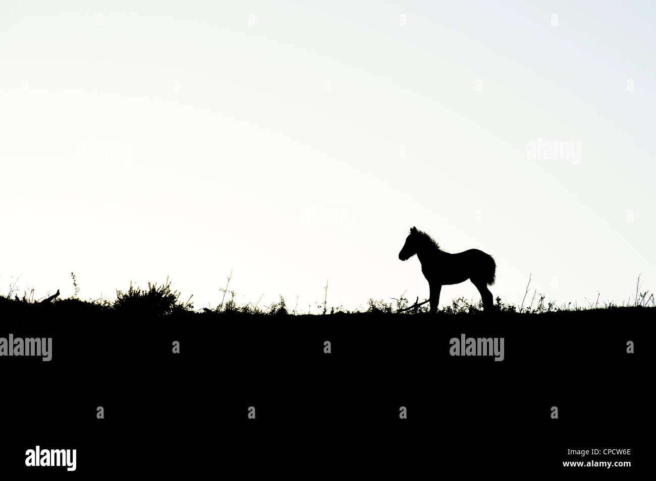 Dartmoor pony / foal silhouette . Dartmoor national park, Devon, England - Stock Image