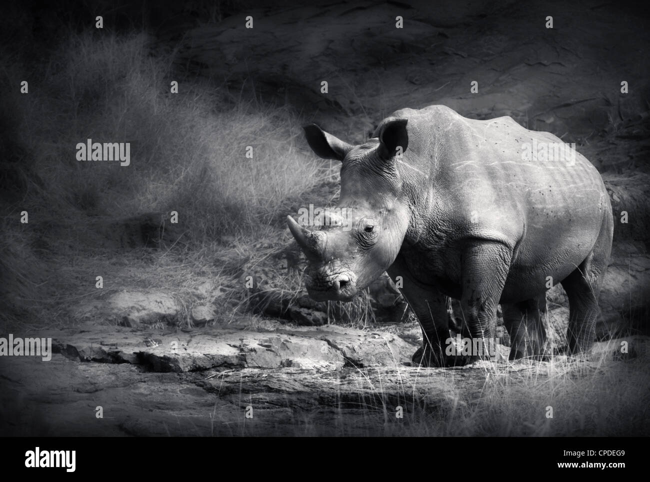 White Rhinoceros (Artistic processing) - Stock Image