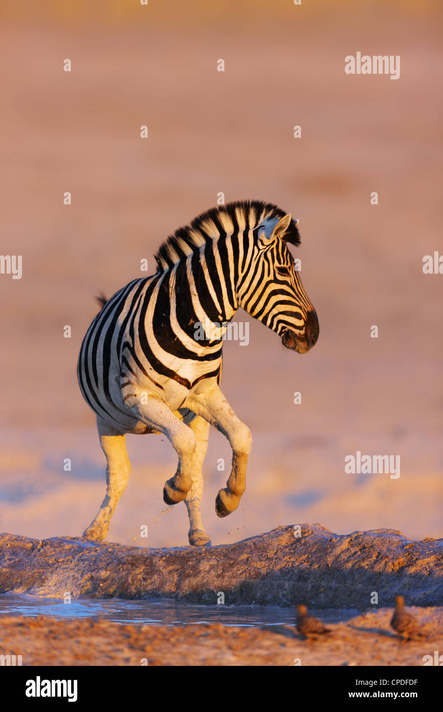 Zebra jumping out of waterhole; Etosha; Equus burchell's - Stock Image