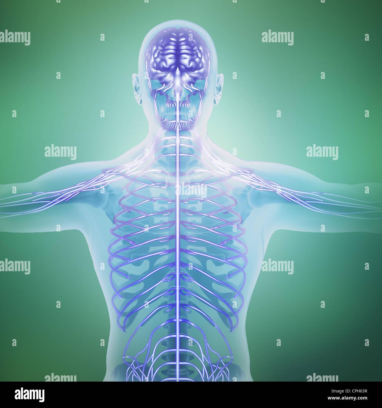 Human anatomy illustration - central nervous system Stock Photo