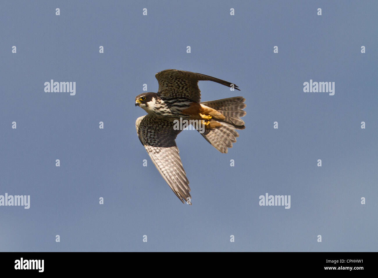 Hobby (Falco subbuteo) in flight, Wicken, Cambridgeshire - Stock Image
