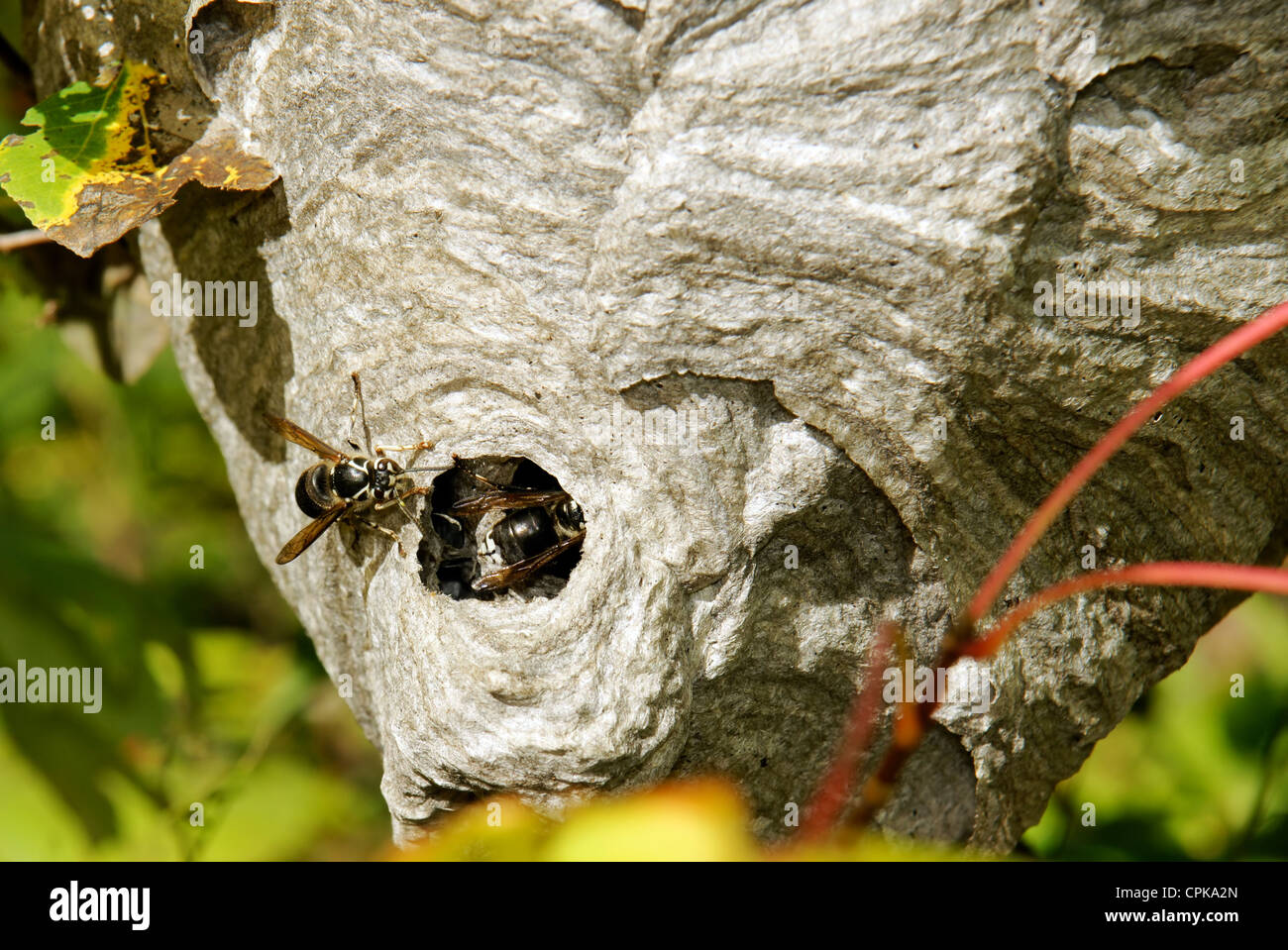 Bald-faced hornets or wasps, Dolichovespula maculata, going back in their paper nest half hidden amongst twigs and Stock Photo
