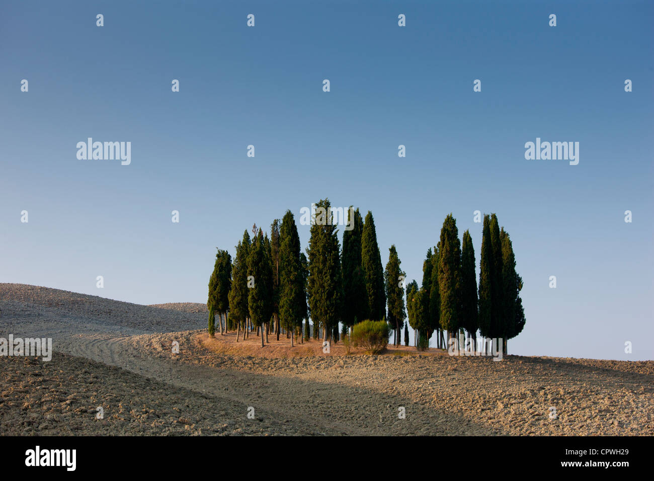 Grove of cypress trees in landscape by San Quirico D'Orcia in Val D'Orcia, Tuscany, Italy - Stock Image