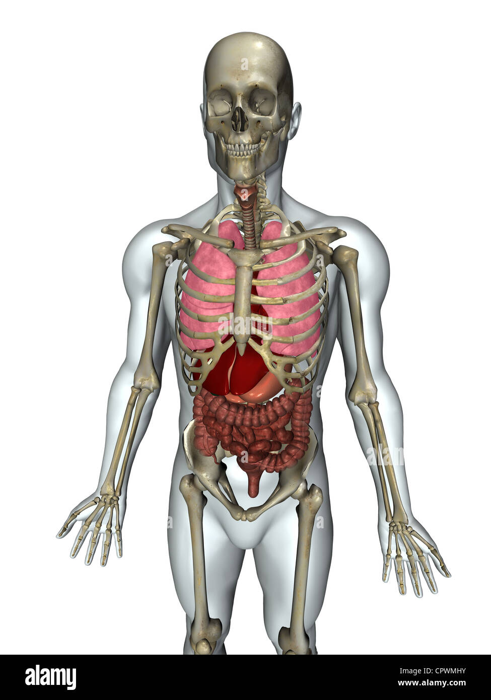 Anatomical illustration of the human body showing the major organ ...