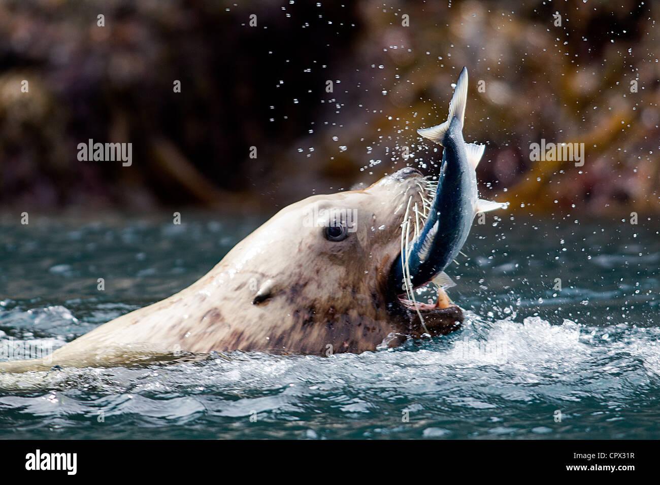 Sea Lion catches fish - Stock Image