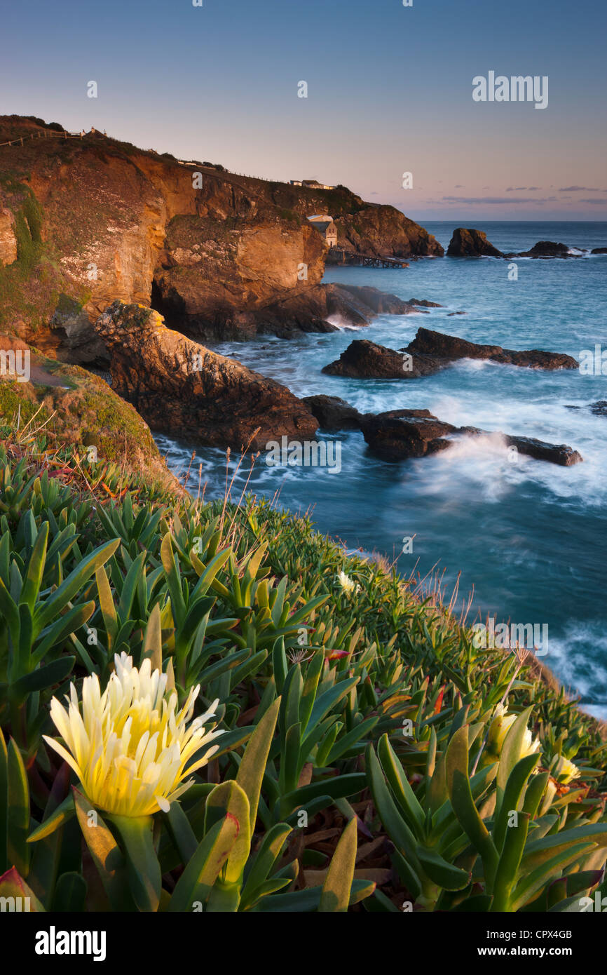 hottentot fig on the cliff at Lizard Point (the most southerly point in mainland Britain), Cornwall, England - Stock Image
