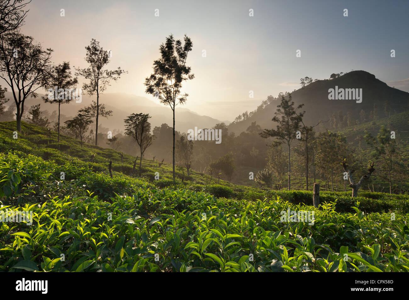 a tea plantation nr Ella with Little Samson's Peak (right), Southern Highlands, Sri Lanka - Stock Image