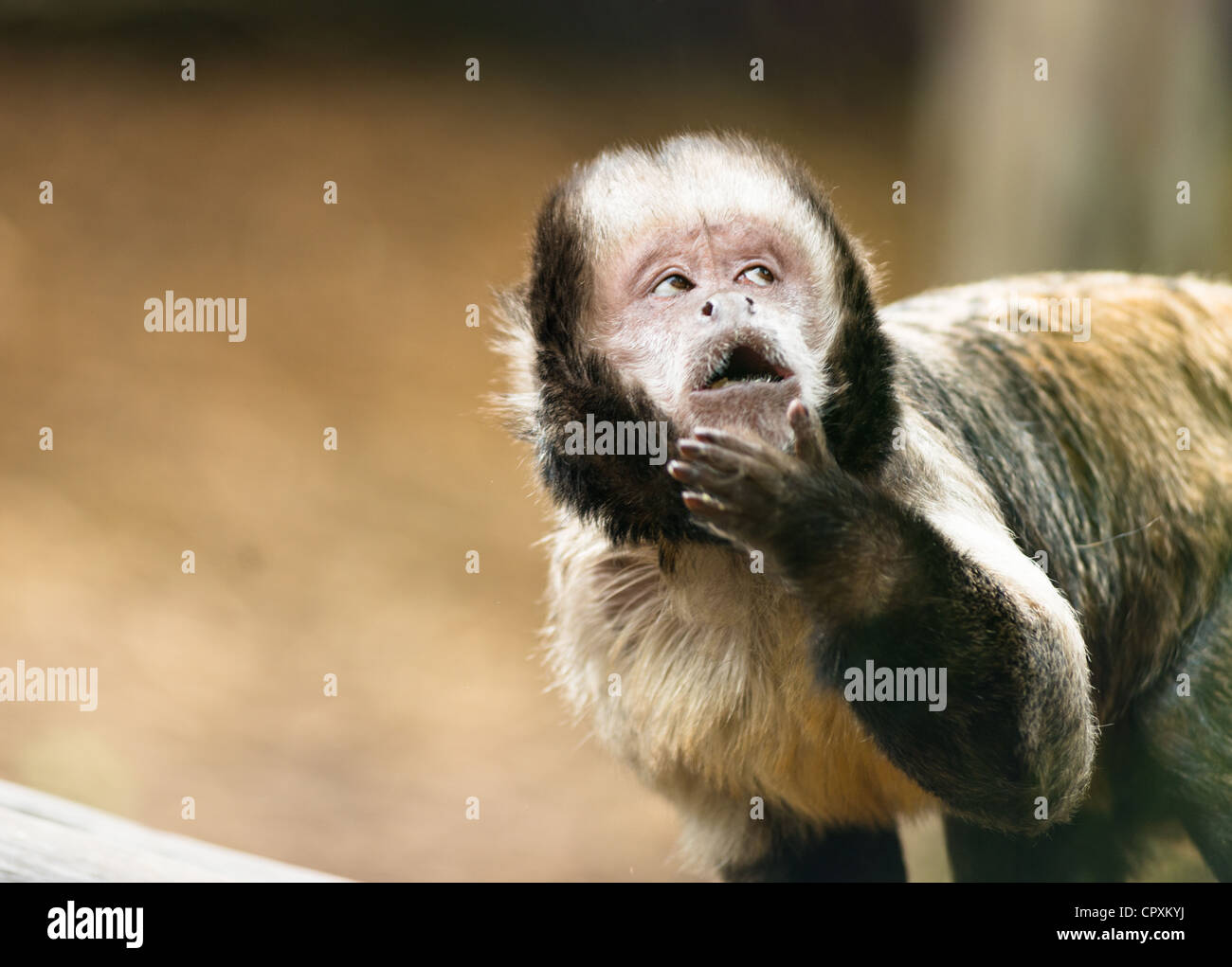Tufted capuchin monkey (Sapajus apella) with cheeky expression. - Stock Image