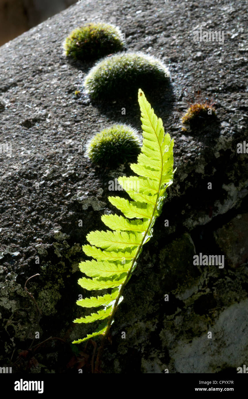 fern plant and moss growing out of stone wall yorkshire uk - Stock Image