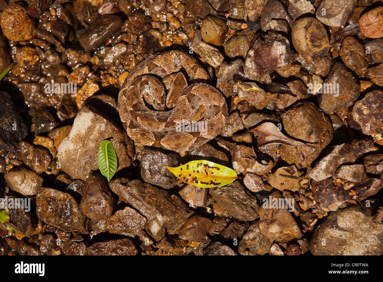The dangerous venomous snake Common Lancehead (Fer-de-Lance), sci. name; Bothrops asper, Republic of Panama - Stock Image