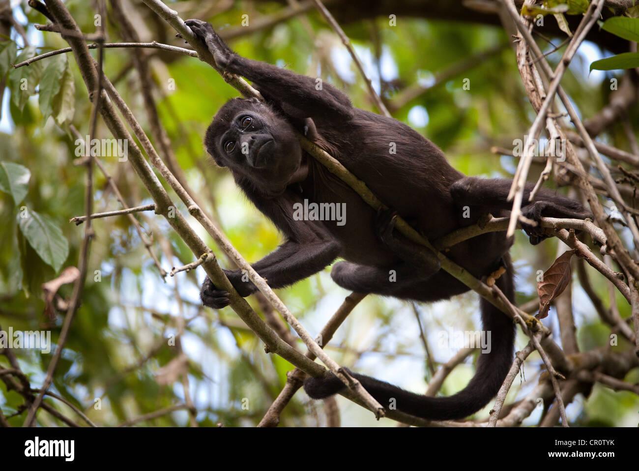 Howler monkey in Soberania national park, Republic of Panama. - Stock Image