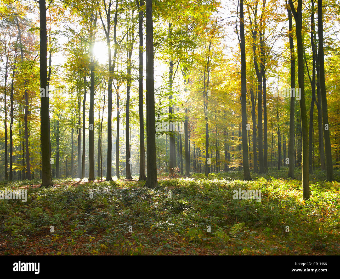 Sun shining through trees in forest - Stock Image
