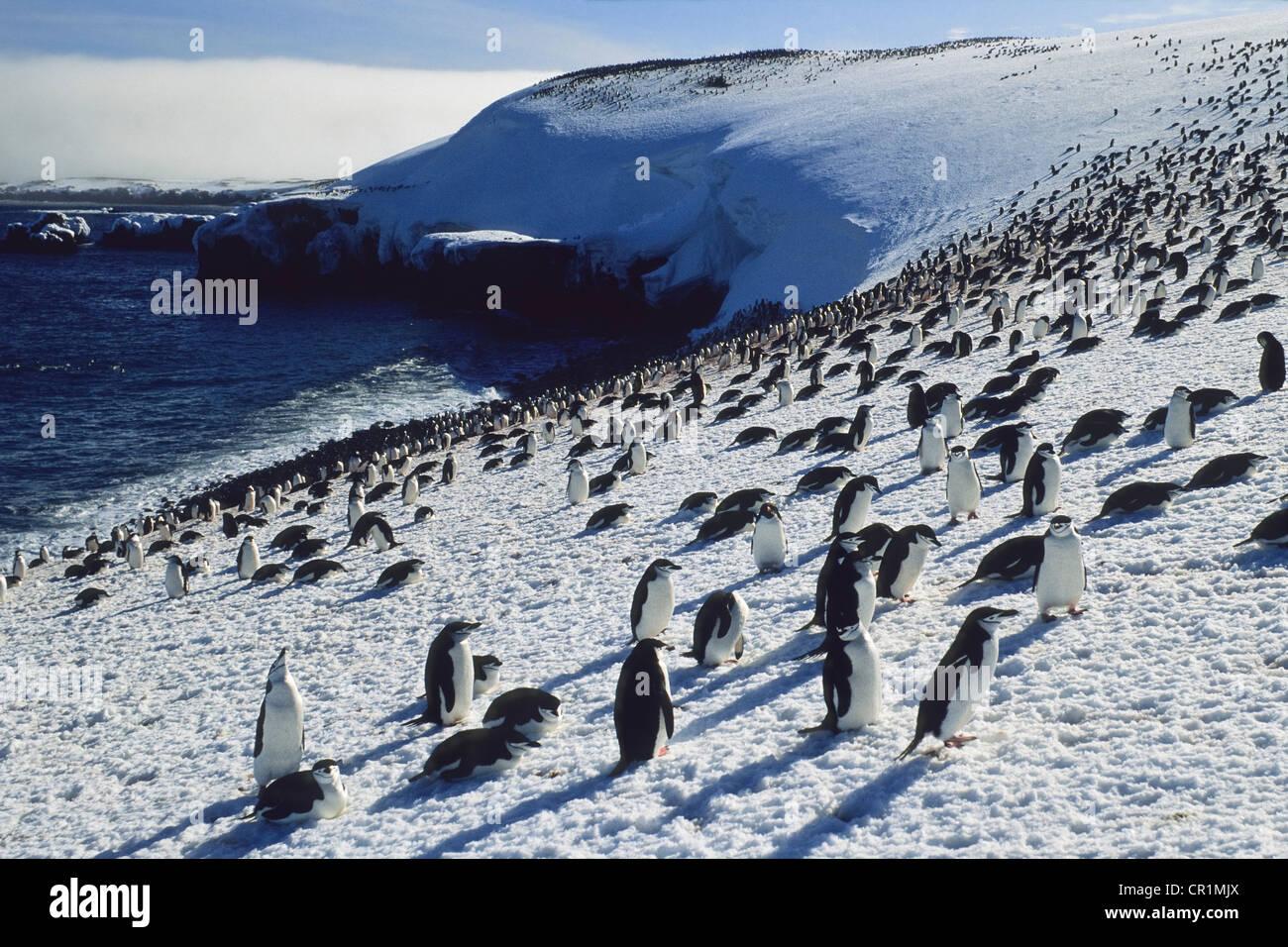 Chinstrap penguins (Pygoscelis antarctica) on Zavodovski Island, South Sandwich Islands, Antarctica Stock Photo