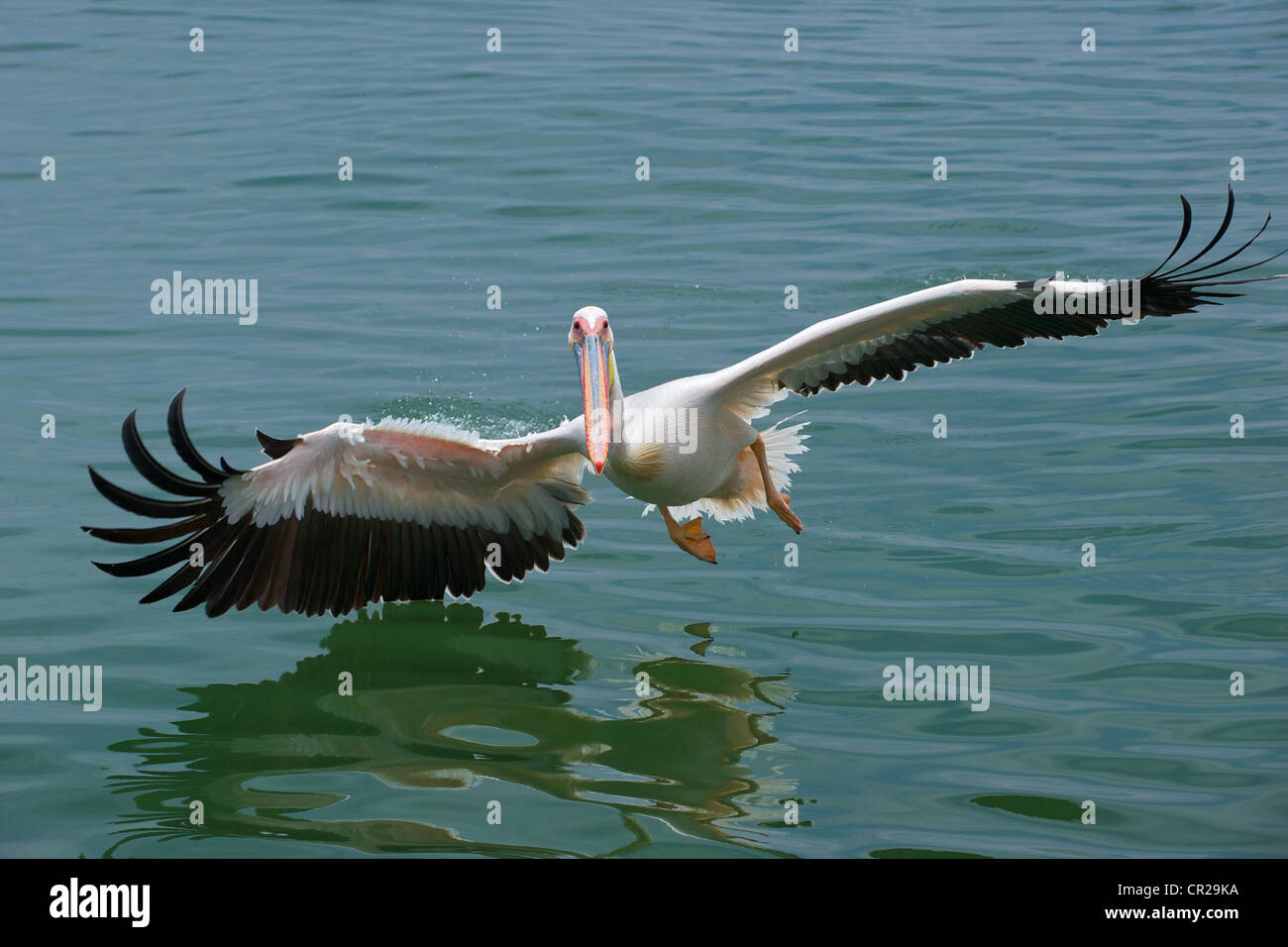 Great White Pelican (Pelecanus onocrotalus) Pelican skimming the water, Walvis Bay, Namibia - Stock Image