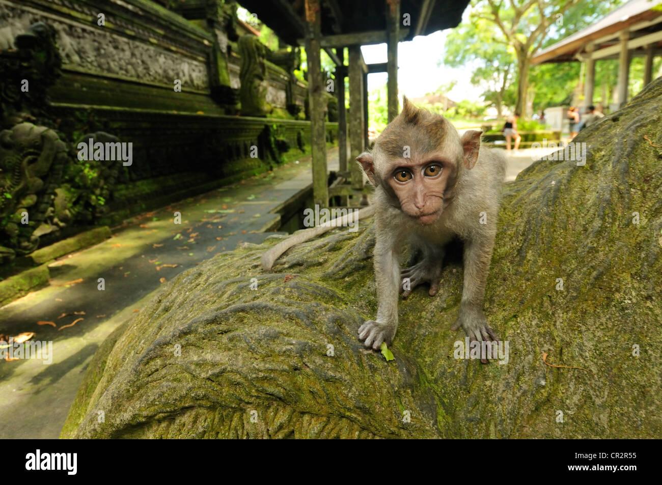 Long-tailed macaque Macaca fascicularis, Cercopithecidae, Ubud Monkey forest, Ubud, Bali, Indonesia, Asia - Stock Image