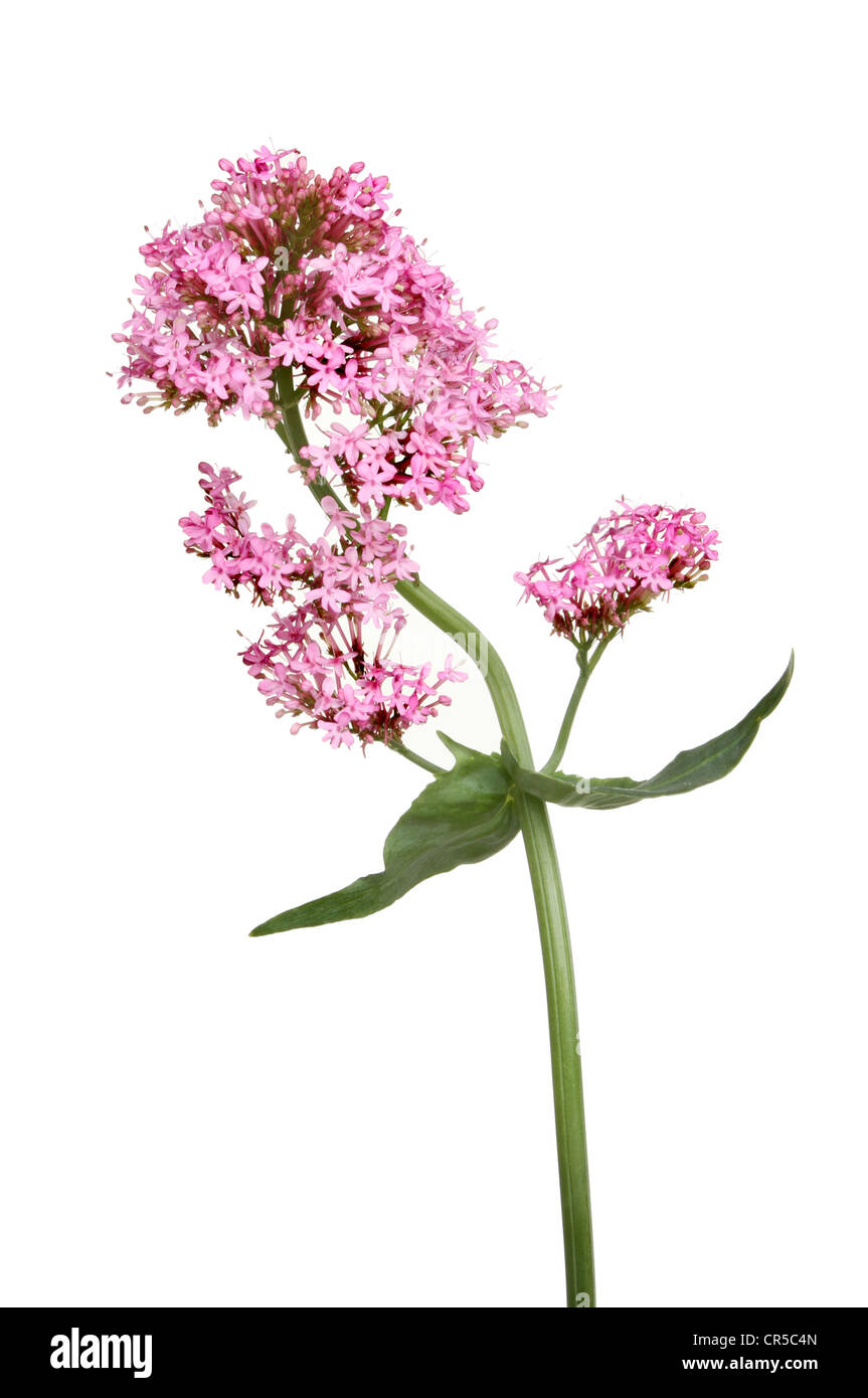 Centranthus ruber, red valerian flowers and leaves isolated against white - Stock Image