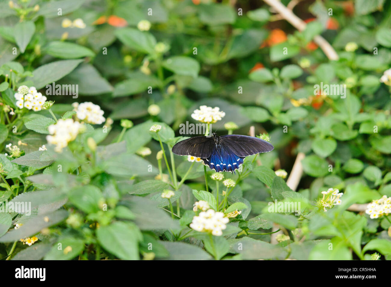 pipevine-swallowtail-butterfly-battus-philenor-perched-on-shrub-verbena-CR5HHA.jpg