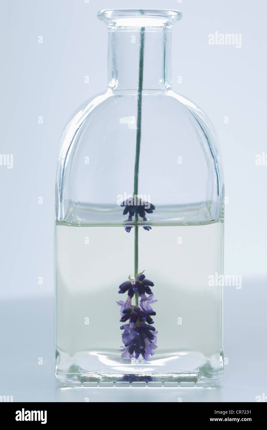 Lavender oil in bottle with flower, close up - Stock Image