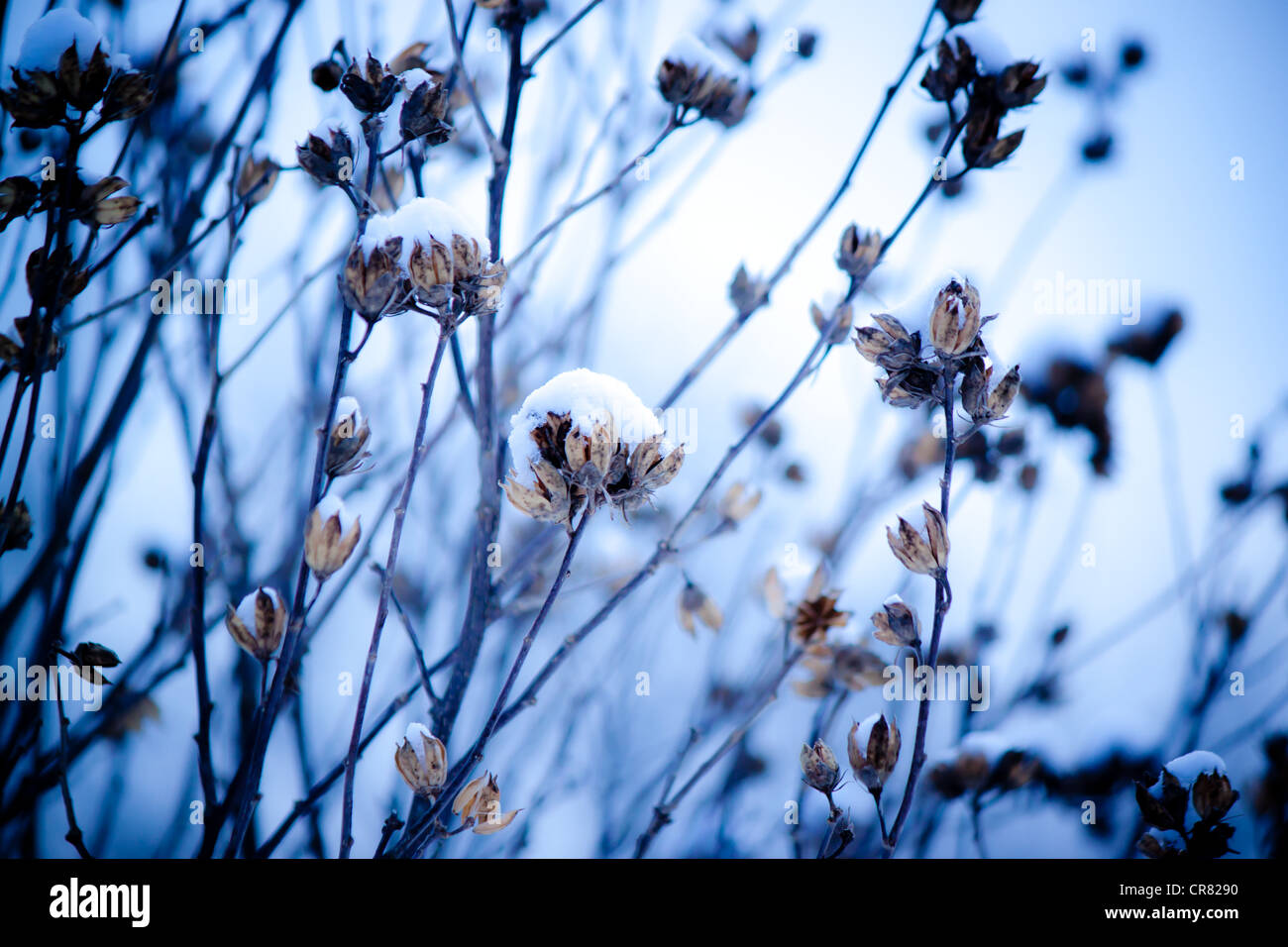 Flowers in the Snow - Stock Image