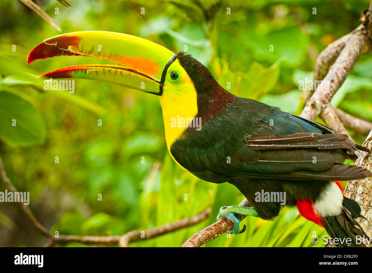 The Keel-Billed Toucan is a site amongst the lavish tropical forest of the Yucatan Penisula, Riviera Maya. Quintana - Stock Image
