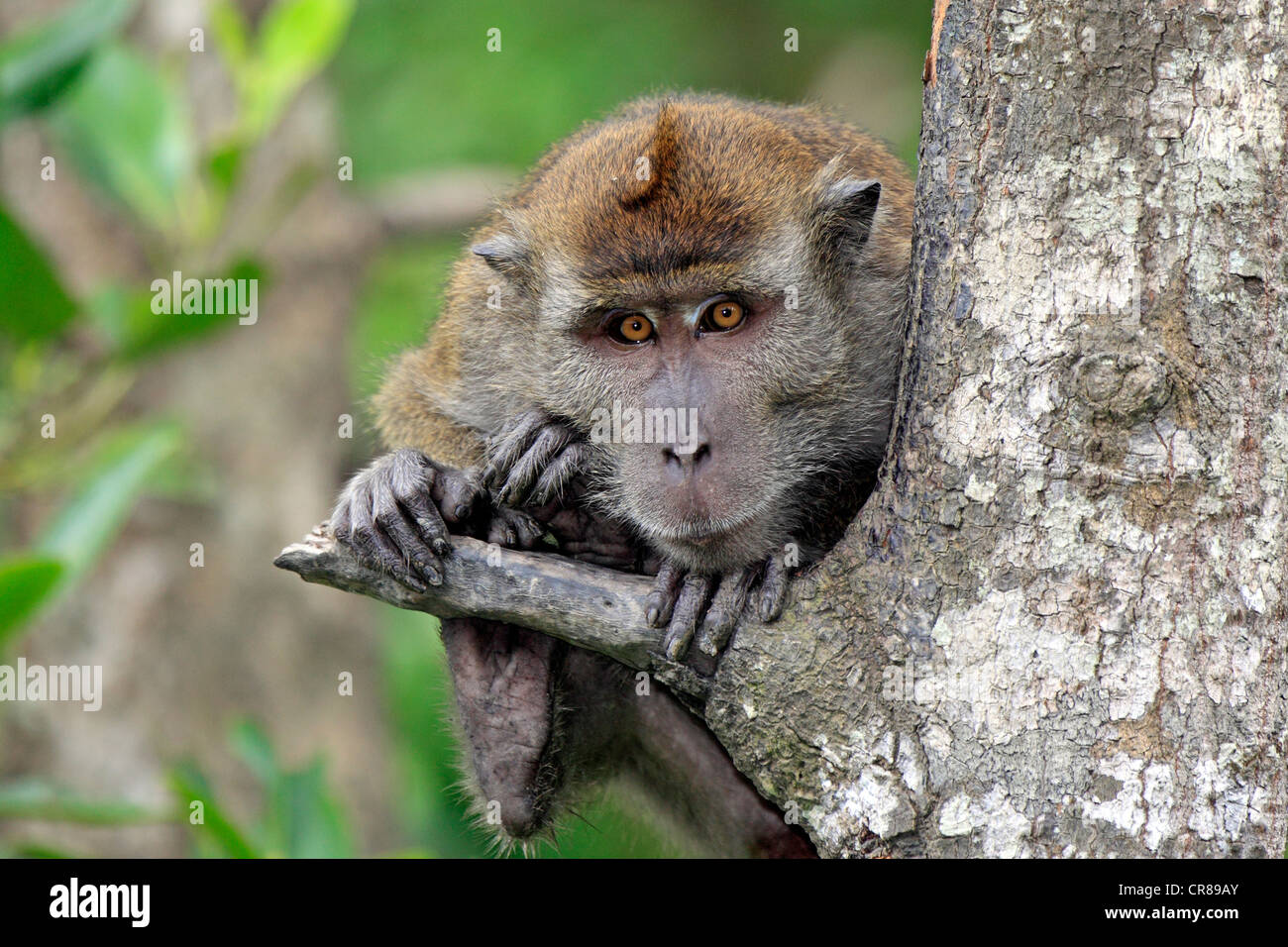 Crab-eating macaque (Macaca fascicularis), on tree, Labuk Bay, Sabah, Borneo, Malaysia, Asia Stock Photo