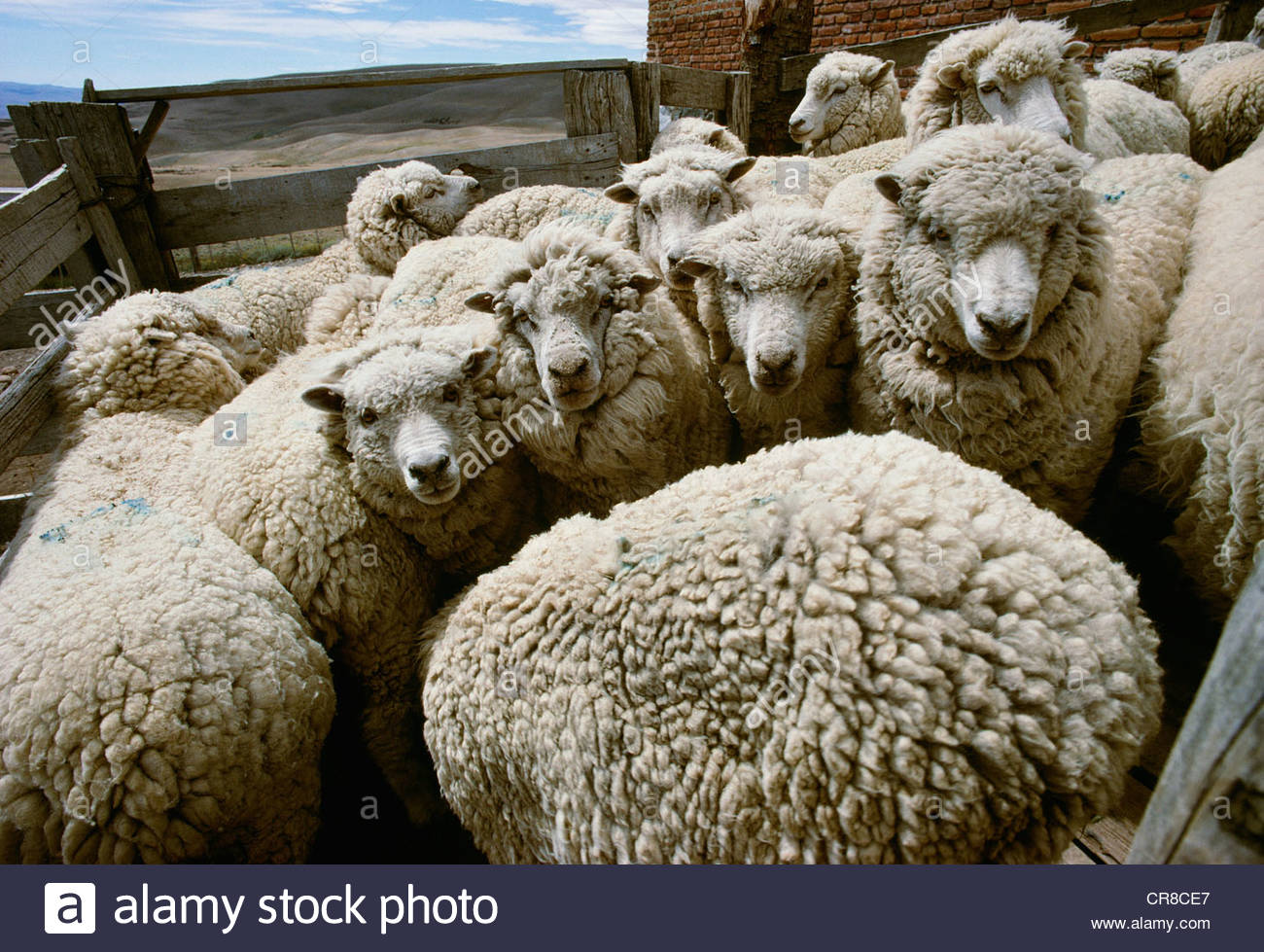 Sheep in holding pens for shearing, Patagonia, Argentina - Stock Image