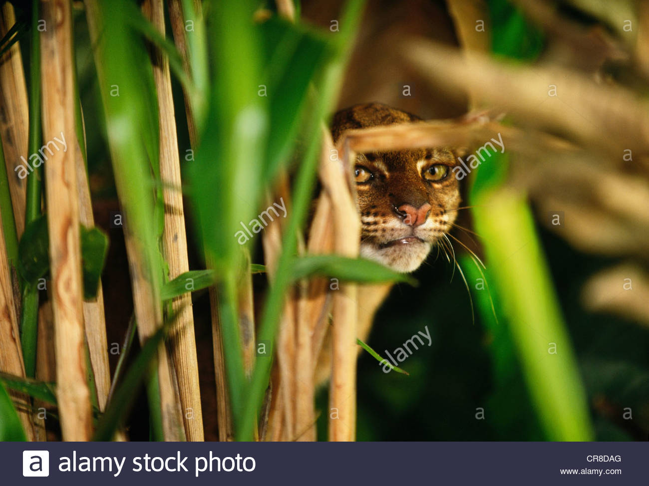Bornean red or bay cat, Borneo, Indonesia - Stock Image