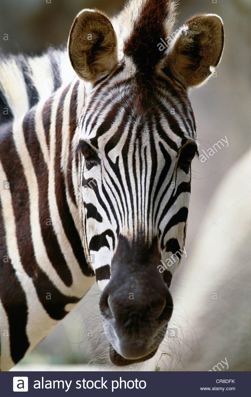 Burchell's zebra, Africa - Stock Image