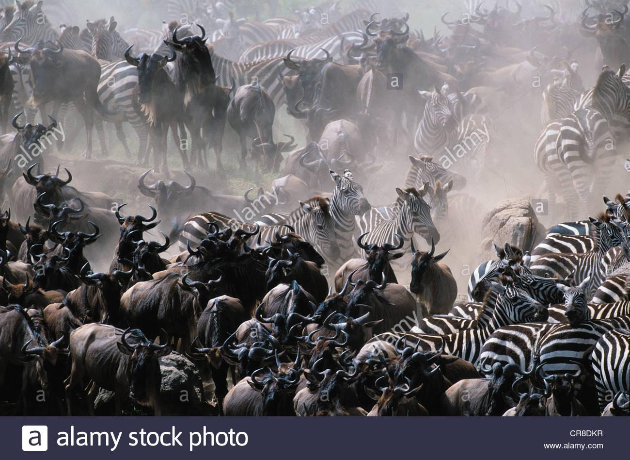 Plains Zebra and Common Wildebeest herds, Masai Mara National Reserve, Kenya - Stock Image